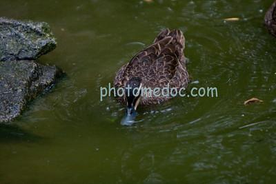 Common Brown Duck