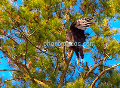 Eagle Coming to Tree