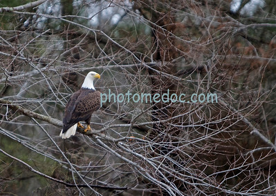 Eagle on Tree Branch