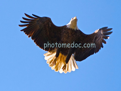 Eagle Just Taking Off