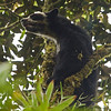 SPECTACLED BEAR - Tremarctos ornatus -<br /> San Isidro, 7 March 2014, Napo, Ecuador