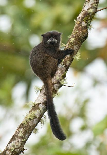 NAPO TAMARIN - Saguinus graellsi -<br /> WildSumaco, August 2015, Napo, Ecuador