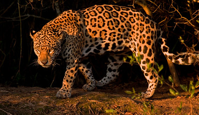 JAGUAR - Panthera onca - Porto Jofre, Pantanal, July 2017, Mato Grosso, Brazil
