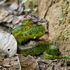 EYELASH PALM PITVIPER - Bothriechis schlegelii -<br /> Refugio Paz de las Aves, January 2013, Pichincha, Ecuador