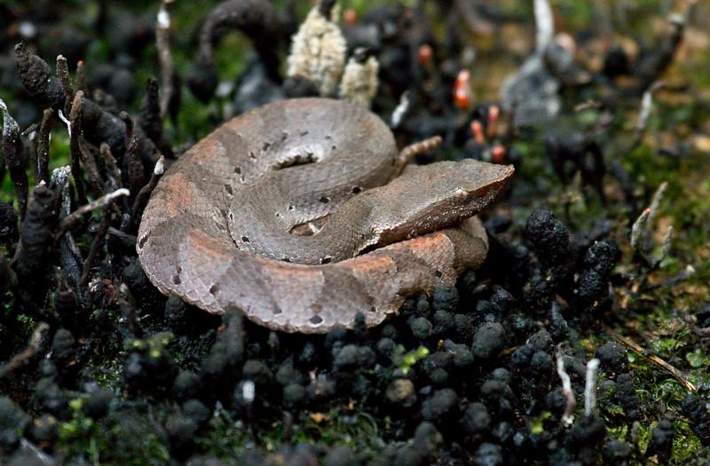 HOGNOSE PIT VIPER - Porthidium hyoprora -<br /> Tipishca, 10 Dec 2014, Sucumbíos, Ecuador