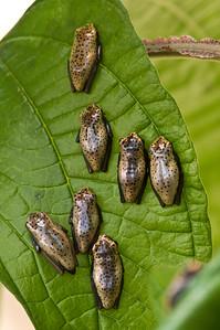 Frogs, Puyo, September 2015, Pastaza, Ecuador