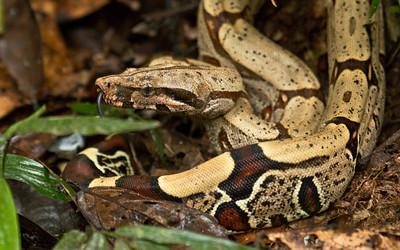 BOA CONSTRICTOR - Boa constrictor - Cuyabeno, December 2015, Sucumbíos, Ecuador