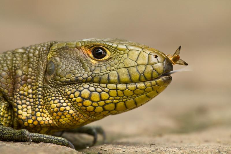 CAIMAN LIZARD - Dracaena guianensis -<br /> Napo Wildlife Center, 21 July 2014, Orellana, Ecuador