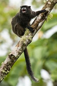 NAPO TAMARIN - Saguinus graellsi - WildSumaco, August 2015, Napo, Ecuador