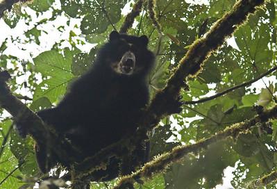 SPECTACLED BEAR - Tremarctos ornatus - Maquipucuna, 13 Oct 2014, Pichincha, Ecuador