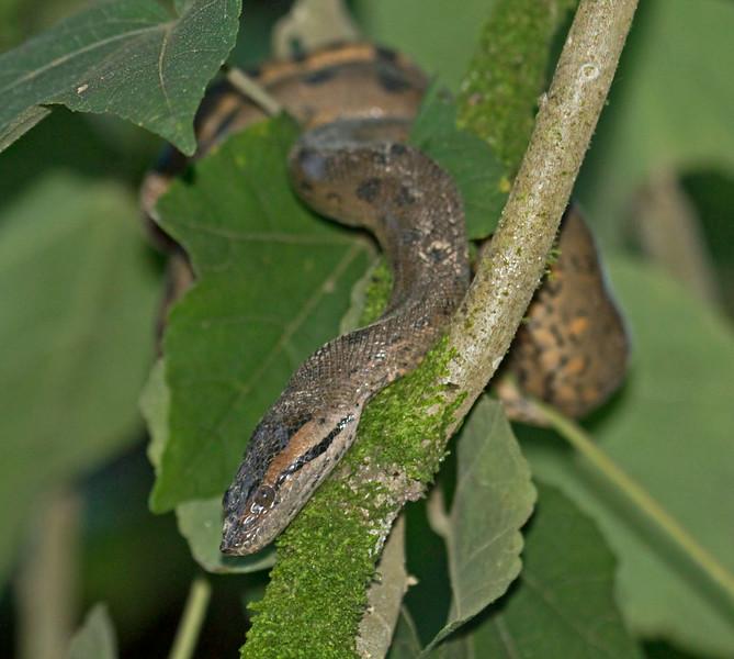 GREEN ANACONDA - Eunectes murinus -<br /> Napo Wildlife Center, 17 July 2014, Orellana, Ecuador