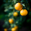 Oranges on the tree, Andalusia, Spain.