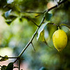 Lemon on the tree, Andalusia, Spain