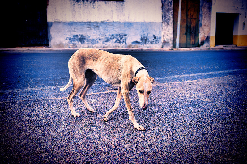Street greyhound, Cordoba, Cordoba, Spain. Digitally edited to look like an old print.