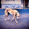 Street greyhound, Cordoba, Cordoba, Spain. Digitally edited to look like an old print.
