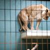 Lioness, Berlin zoo, Germany