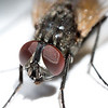 Extreme close up of a fly