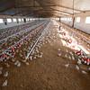 Chicken in poultry farm. Villamanrique de la Condesa, Sevilla province, Andalucia, Spain