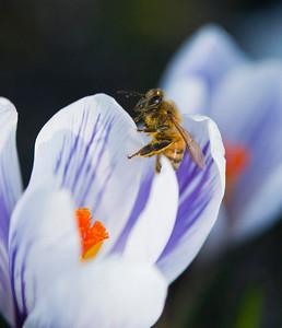 Honey Bee in striped Crocus