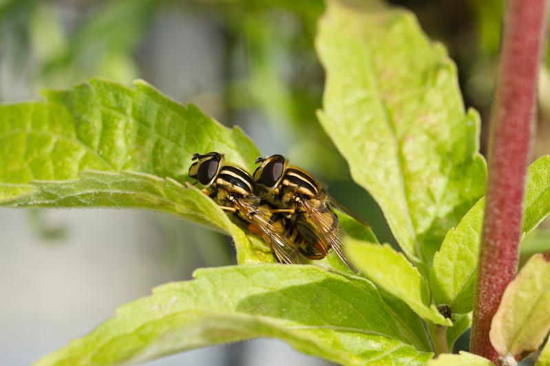 Two Hooverflies getting romantic