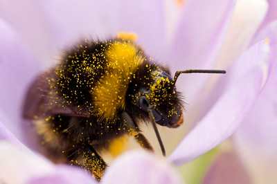 Bumble bee in Crocus Flower