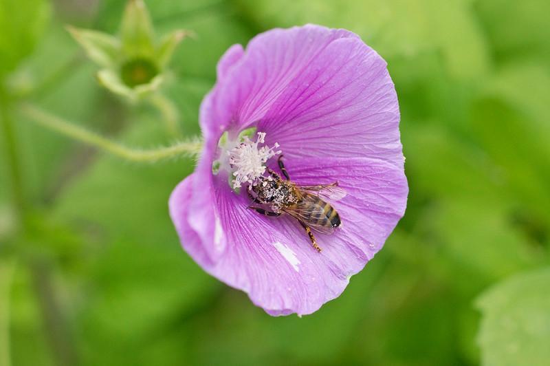 Malva Lavatera with pollen covered Honey Bee