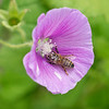 Malva Lavatera with pollen covered Honey Bee