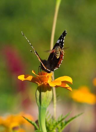 Wasp harassing a Vanessa Atalanta