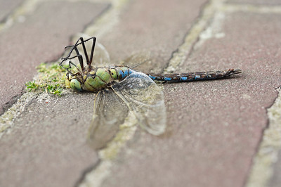 The Death of a Dragonfly