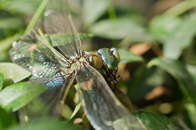 Injured Dragonfly on a bush