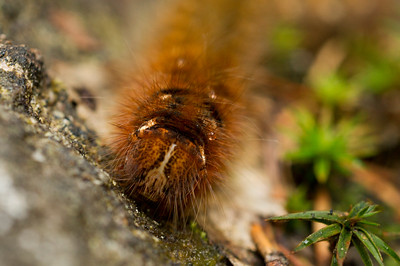 Brown Hairy Caterpillar in Sweden