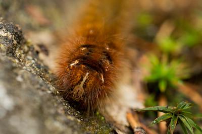 Brown Hairy Caterpillar in Sweden