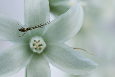 Spider in a white hyacinth flower