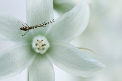 Spider from the Tetragnathidae family in a White Hyacinth