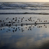 Sandpipers on the Shore of the Pacific Ocean