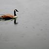 070628-011 (Canada Goose, Greenlake, Rain)
