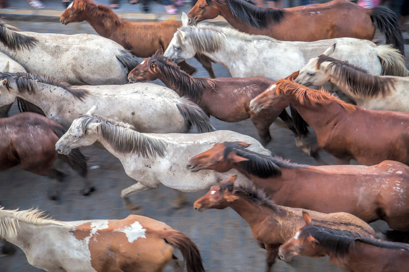 "Herd of horses, ""Saca de las yeguas"" festival, town of Almonte, province of Huelva, Andalusia, Spain. Dating back to 1504, every 26th of June, the ""yegüerizos"" (cowboys or riders who look after the herds) gather and take the wild mares and colts out of Doñana marshland, where they have been freely grazing in the winter, and lead the ""tropas"" (herds) to the town of Almonte."