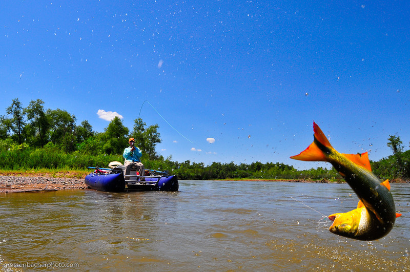 Jumping Dorado on the Juramento River, Argentina