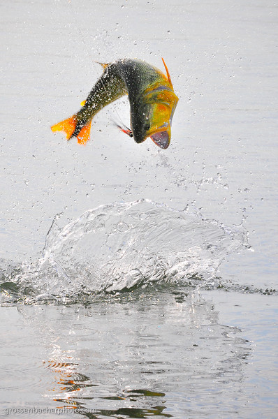 If the Dorado jumped any higher they would need wings.