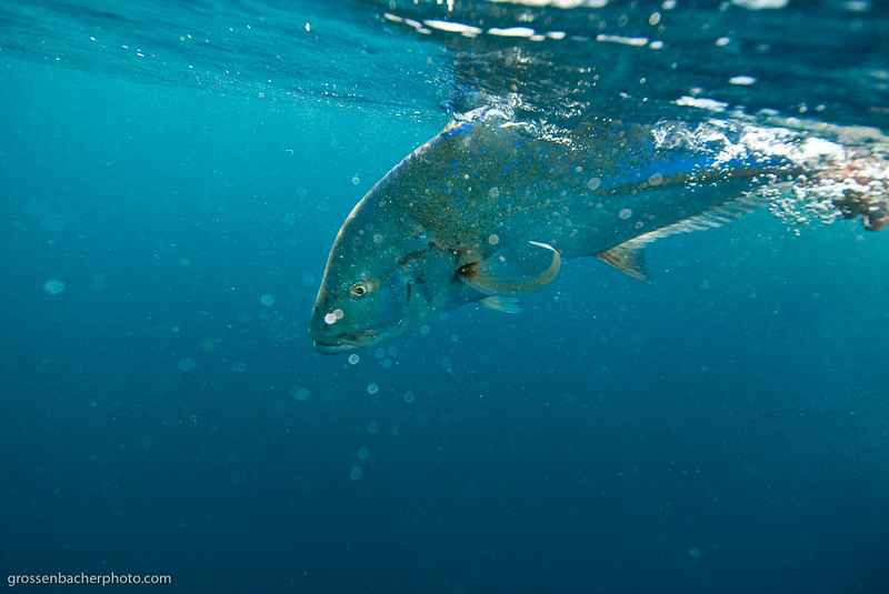 Blue Fin Trevally Release.