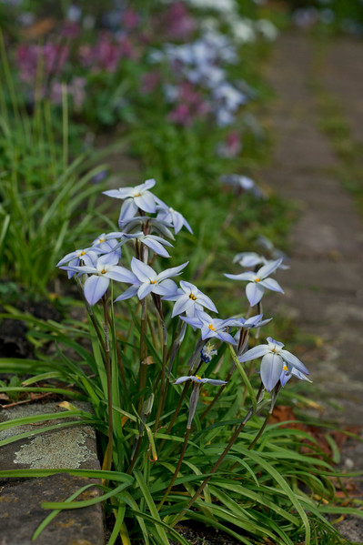 Ipheion uniflorum flowers between the pavement