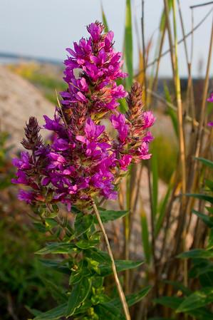 Epilobium angustifolium also called Rosebay Willowherb in summer near the sea of Turku,Finland