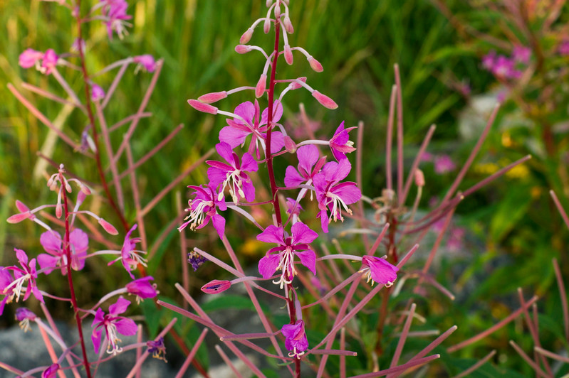Epilobium angustifolium also called Rosebay Willowherb