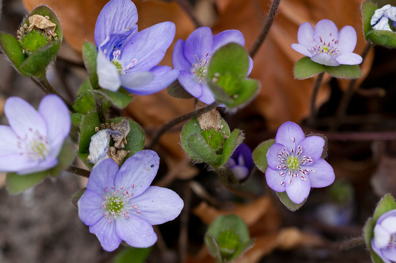 Anemone hepatica  in the Hortus Botanicus Leiden