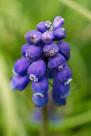 Detail of a blue grape hyacinth
