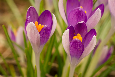 Two Colored Crocus Flowers