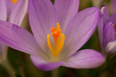The heart of a Crocus