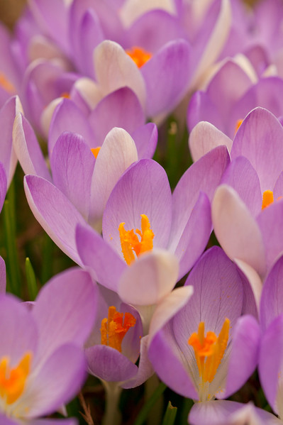 Purple and white crocus flowers