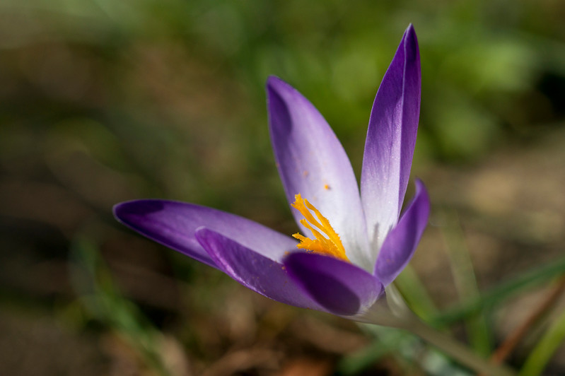 Purple crocus with yellow stamen