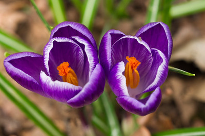 Twin Crocuses